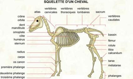 anatomie-du-cheval,741,image1,fr1387124535,H600